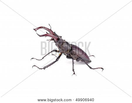 Stag Beetle In A Combat Position