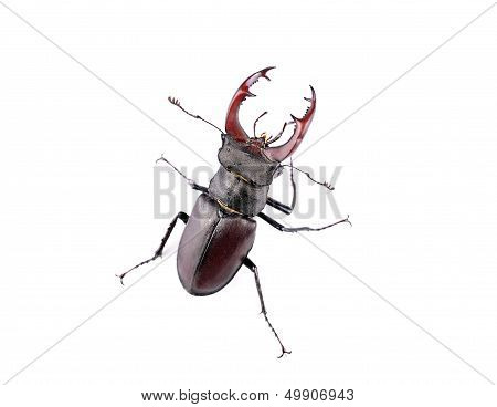 Stag Beetle Top View