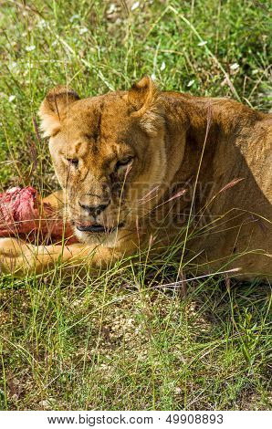 Lion female with piece of meat.