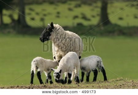 Mother Sheep And Triplets