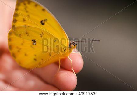 macro of beautiful yellow butterfly