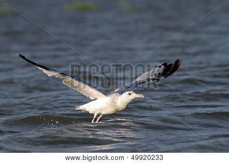 Closeup Of A Gull Taking Off