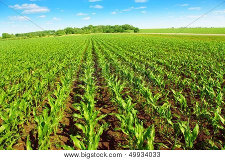 Green corn field over blue sky.