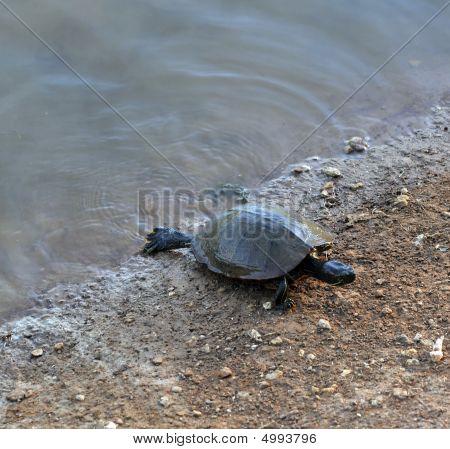 Feeding Box Turtle