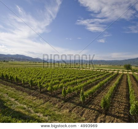 Grape Vines In Macedonia