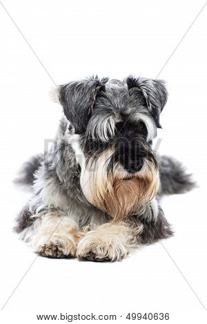 Schnauzer Taking A Rest