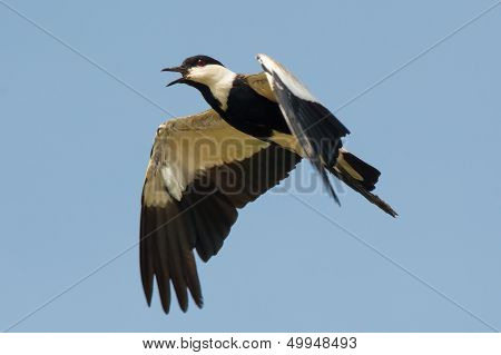 Spur-winged Plover In Flight