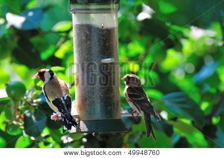 Finches Feeding.