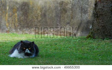 Brugu cat on the grass