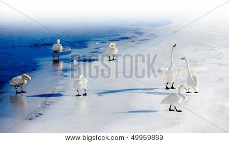 Fighting Swans On A Frozen Lake