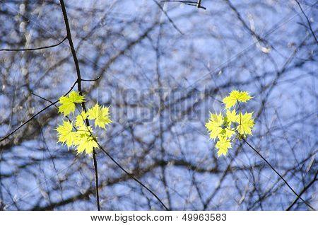 Sycamore Maple, Acer Pseudoplatanus