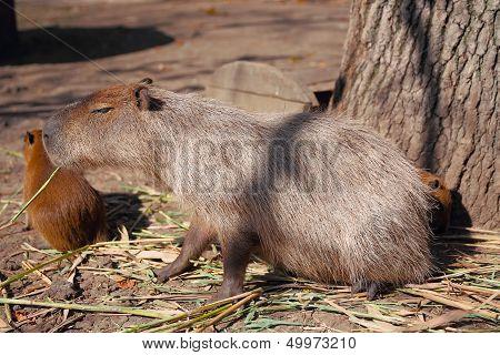 Capybara family