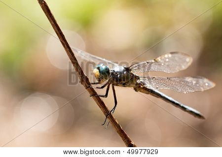 Backlight Blue Dasher Dragonfly