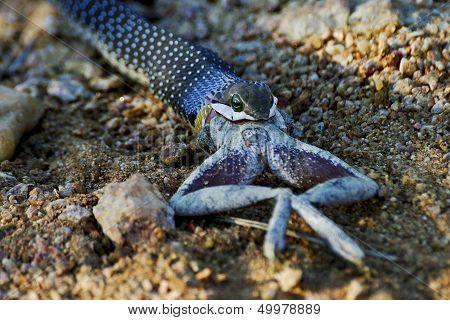 Juvenile Boomslang eating a frog