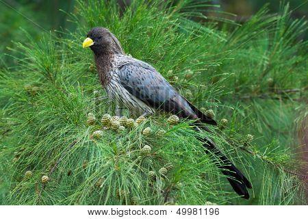 Western-grey Plantain Eater