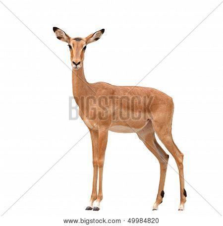 Female Impala Isolated