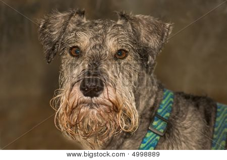 Serious Miniature Schnauzer Dog in front of grey background