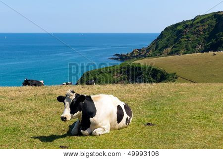 Cow in a field and view of the Cornish coast in Cornwall England UK