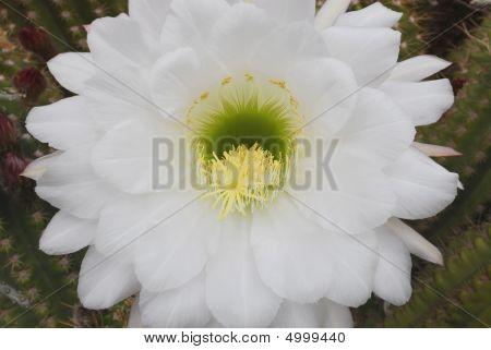 Cactus Flower (echinopsis Oxygona)