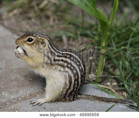 Thirteen-Lined Ground Squirrel Feeding