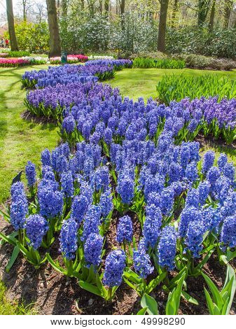 Bed Of Blue  Hyacinths
