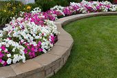 picture of foliage  - Peink and White petunias on the flower bed along with the grass - JPG