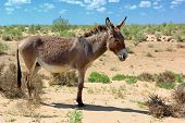 stock photo of headstrong  - Wild donkey in the dessert - JPG