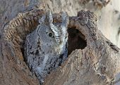 picture of screech-owl  - Screech Owl - JPG