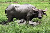 stock photo of carabao  - he carabao  - JPG