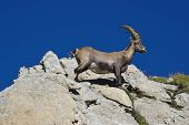 Young Alpine Ibex On A Rock