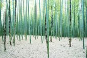 Young Bamboo forest, with some new bamboo shoots.