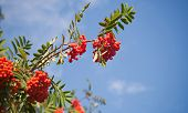 Branch Of A Rowan-tree With Bright Red Berries Against The Blue Sky