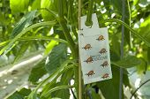stock photo of mites  - mite control in a commercial greenhouse for bell peppers - JPG