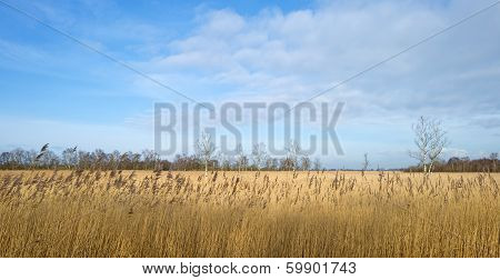 Reed bed with trees in winter
