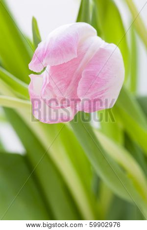 Spring Background Of Dainty Pink Tulips