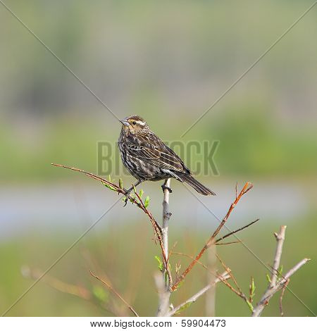Red-winged Blackbird, female.