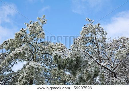 Ice Covered Pine Trees