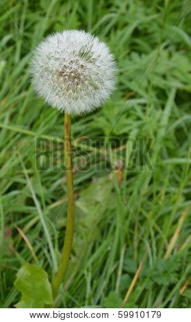 Blowball With Water Droplets On A Green Background