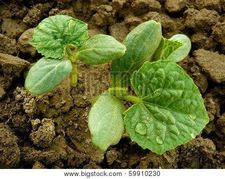 cucumber seedlings growing on bed