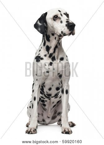 Dalmatian sitting, looking away, 1 year old, isolated on white