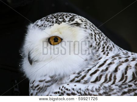 Snowy Owl Close-up