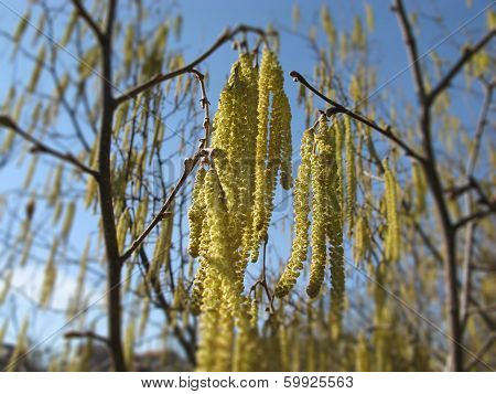 Catkins Of Hazel Tree Coryllus Avellana In Spring