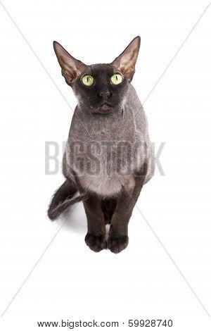 Black Bald Cat Sphinx
