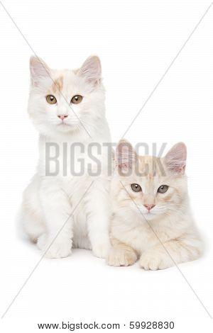 Two Kurilian Bobtails Cats