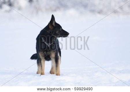 German Sheepdog Standing On Snow