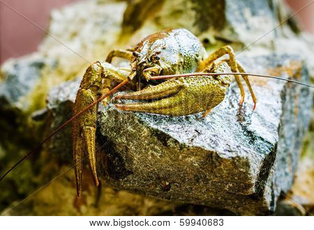 The Crawfish On A Stone