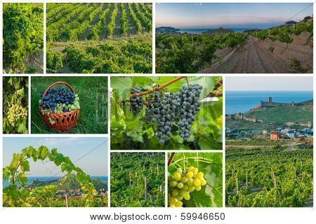 Vineyards And Grapes