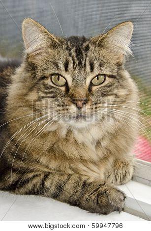 Domestic long-hair cat