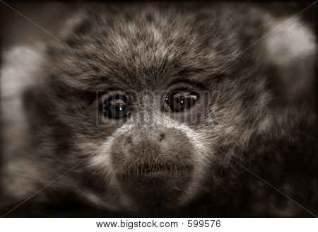 Titi Monkey Baby In Sepia