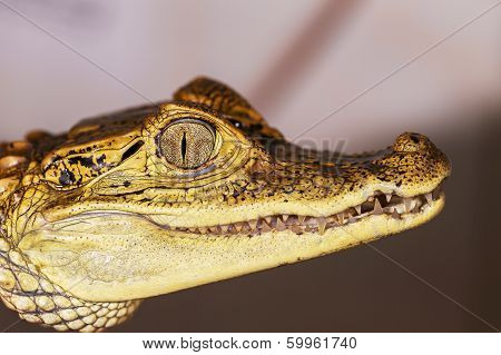 Alligator With Its Mouth Open Wide
